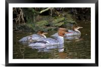 Goosander mother and young, Framed Mounted Print