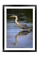 Grey Heron reflected in calm water, Framed Mounted Print