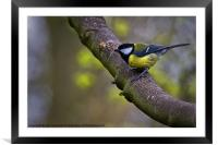 Great Tit, Framed Mounted Print