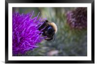 Bee on a thistle, Framed Mounted Print