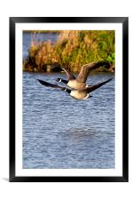 Canada Geese in flight, Framed Mounted Print