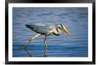 Snack time for Grey Heron, Framed Mounted Print