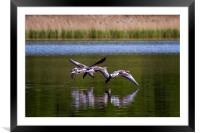 Greylags in flight, Framed Mounted Print