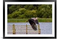 Grey Heron in flight, Framed Mounted Print