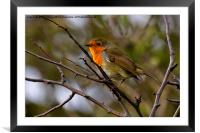 Bright eyed Robin, Framed Mounted Print