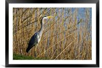 Grey Heron amongst the reeds, Framed Mounted Print