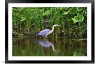 Grey Heron reflected, Framed Mounted Print