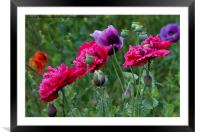 Colourful Poppies, Framed Mounted Print