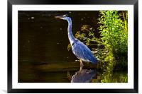 Grey Heron enjoying the sunshine, Framed Mounted Print