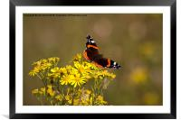 Red Admiral butterfly, Framed Mounted Print