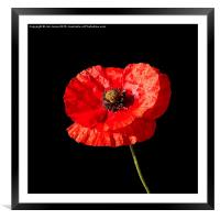 Poppy , Framed Mounted Print