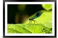 Damselfly on green leaf, Framed Mounted Print
