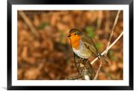 Robin in winter sunshine, Framed Mounted Print