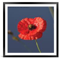 Blood Red Poppy, Framed Mounted Print