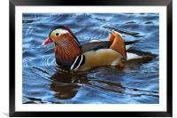 Mandarin Duck, Framed Mounted Print