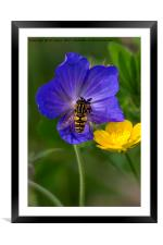 Cranesbill, Buttercup and Hoverfly, Framed Mounted Print