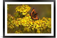 Tortoiseshell butterfly in September sunshine, Framed Mounted Print