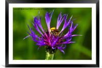 Bee on Mountain Bluet, Framed Mounted Print