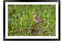 Meadow Pipit, Framed Mounted Print