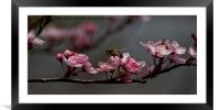 Bee, blossom and promise of spring, Framed Mounted Print