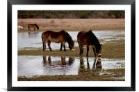 Thirsty horses, Framed Mounted Print