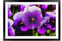 Artistic Purple Pansies, Framed Mounted Print
