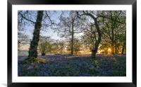 Dawn in the bluebell woods 3, Framed Mounted Print