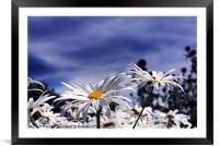 Oxeye daisy's deep blue sky, Framed Mounted Print