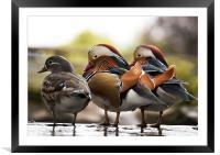 Mandarin Ducks, Framed Mounted Print