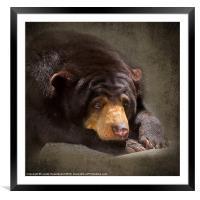 Sad Sun Bear, Framed Mounted Print