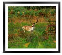 Fallow Deer Buck, Framed Mounted Print