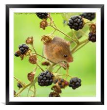 Harvest mouse on a blackberry stem, Framed Mounted Print
