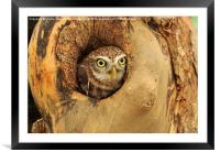 Little Owl, Framed Mounted Print