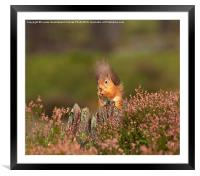 Red Squirrel in Autumn, Framed Mounted Print
