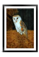 Barn Owl, Tyto alba, Framed Mounted Print