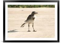 Hungry Pied Wagtail, Framed Mounted Print