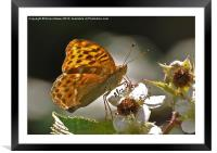 Silver Washed Fritillary, Framed Mounted Print