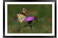 Meadow Brown Butterflies, Framed Mounted Print