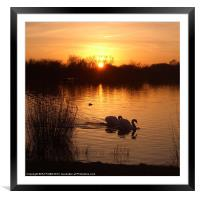 Swan Couple at Sunset, Framed Mounted Print