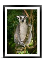 Lemur, Framed Mounted Print