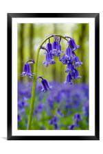 Bluebells Close Up, Framed Mounted Print