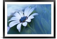 Blue-eyed African Daisy, Framed Mounted Print