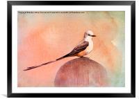 Scissor-tailed Flycatcher, Framed Mounted Print