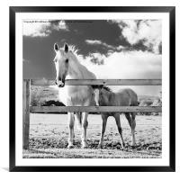 Mare and foal behind fence, Framed Mounted Print