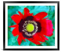 A single Red Poppy, Framed Mounted Print