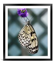 Black and white butterfly, Framed Mounted Print