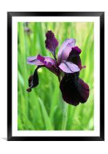 Iris, Framed Mounted Print