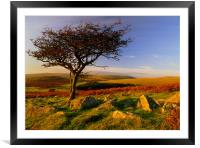 Hawthorn Tree,Two Moors Way, Framed Mounted Print