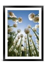 Tulips, Framed Mounted Print