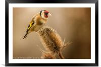 Goldfinch (Carduelis carduelis), Framed Mounted Print